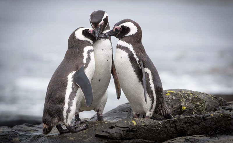 falkland islands magellanic penguins on rocks