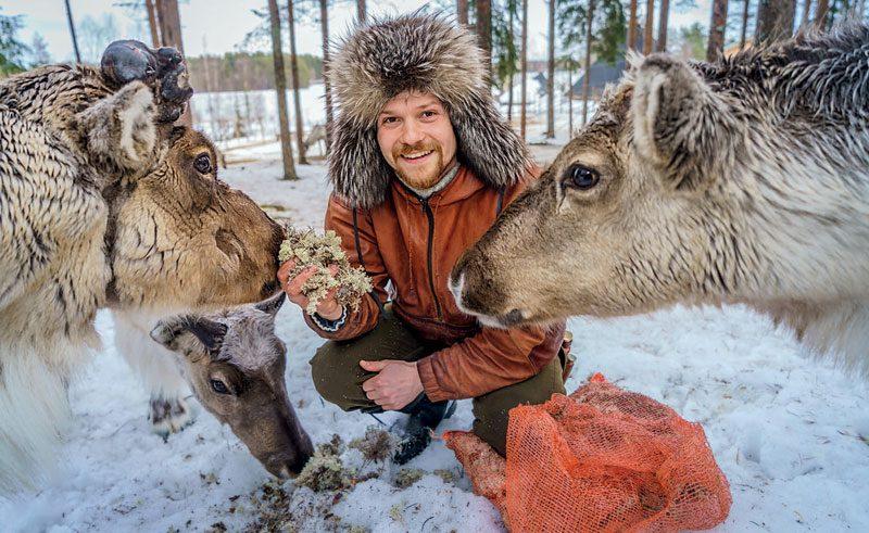 finland lapland reindeer feeding