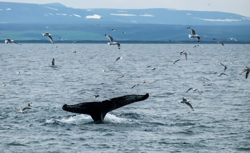 iain mallory Iceland blogone whale tail