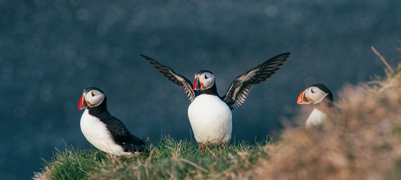 iceland george puffins