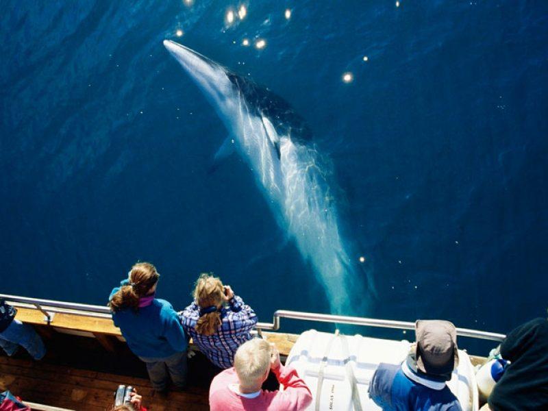 iceland north husavik whale northsailing