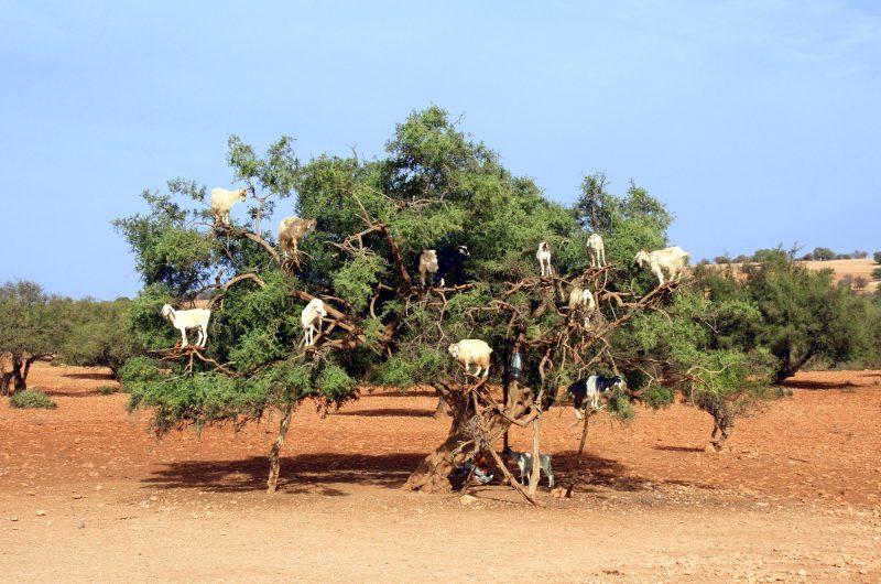 morocco goats climbing in argan tree istk