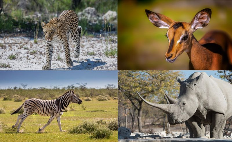 namibia etosha wildlife collage