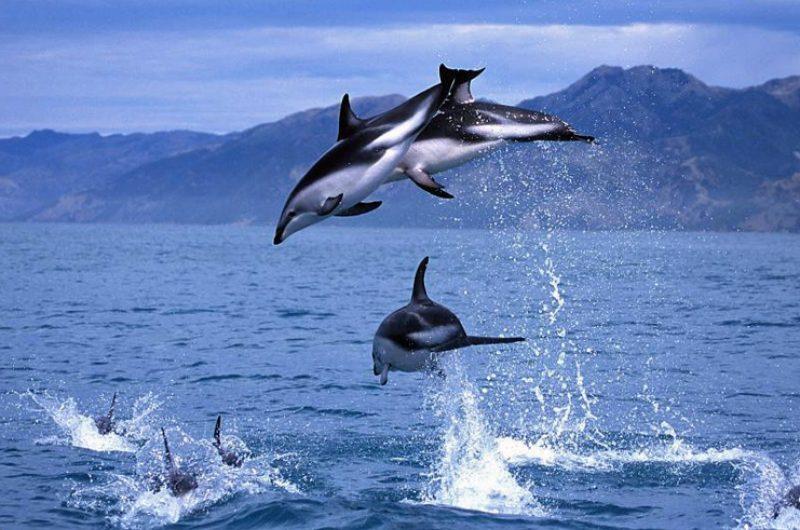 new zealand dolphins kaikoura2