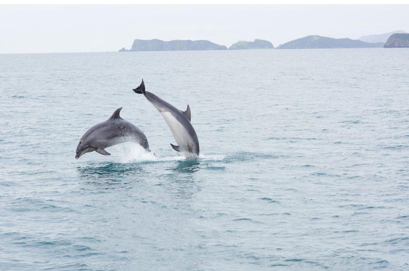 new zealand northland bottlenose dolphins bay of islands tnz