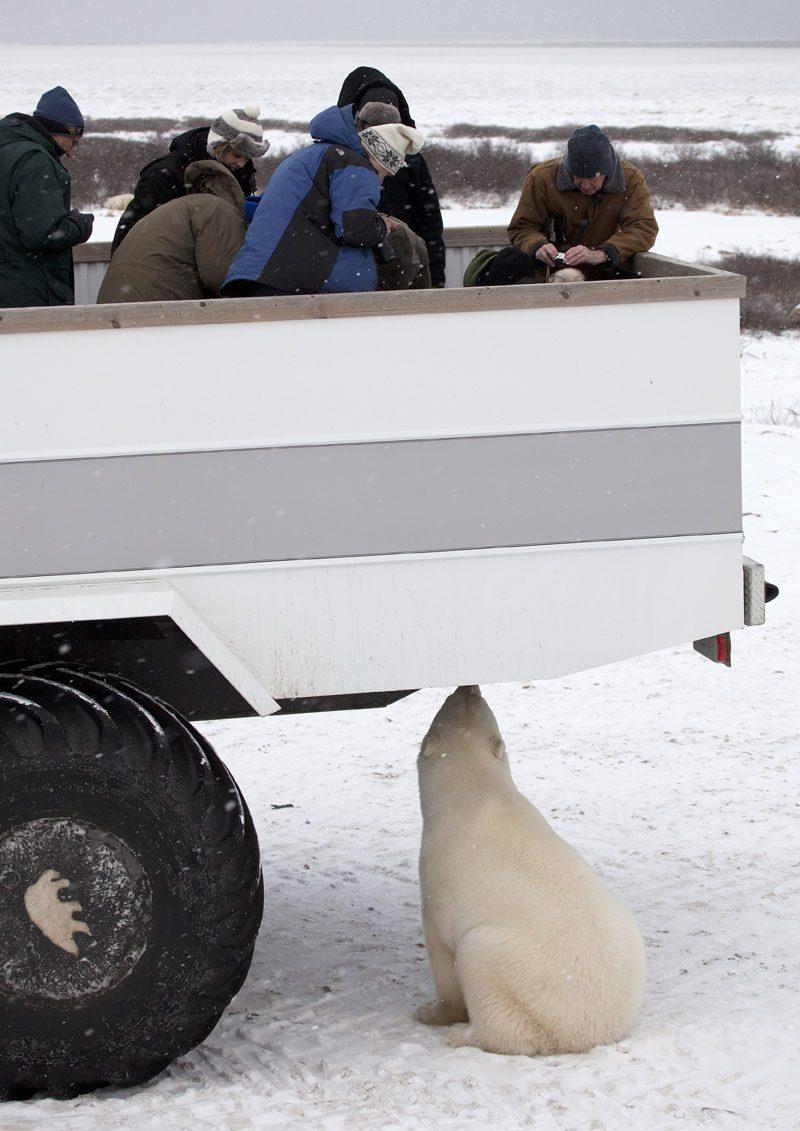 rover viewing platform and curious polar bear