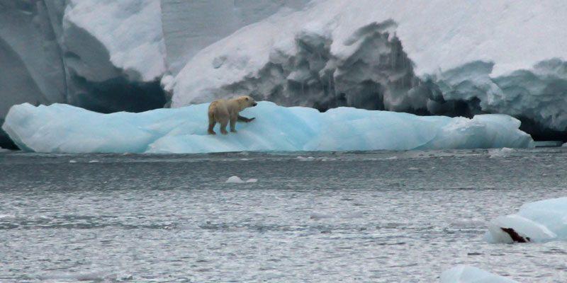 spitsebergen Polar bear on ice 1 jocooper