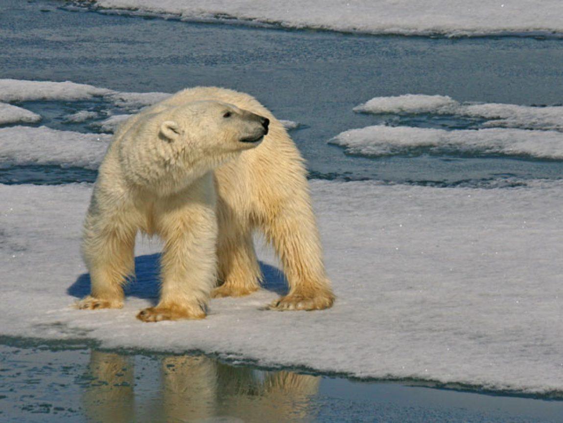 svalbard hornsund polar bear istk