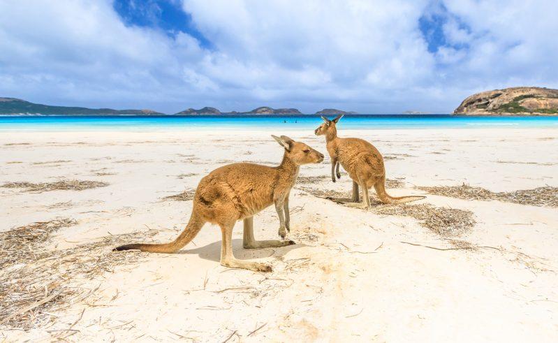 western australia lucky bay kangaroos on beach istk