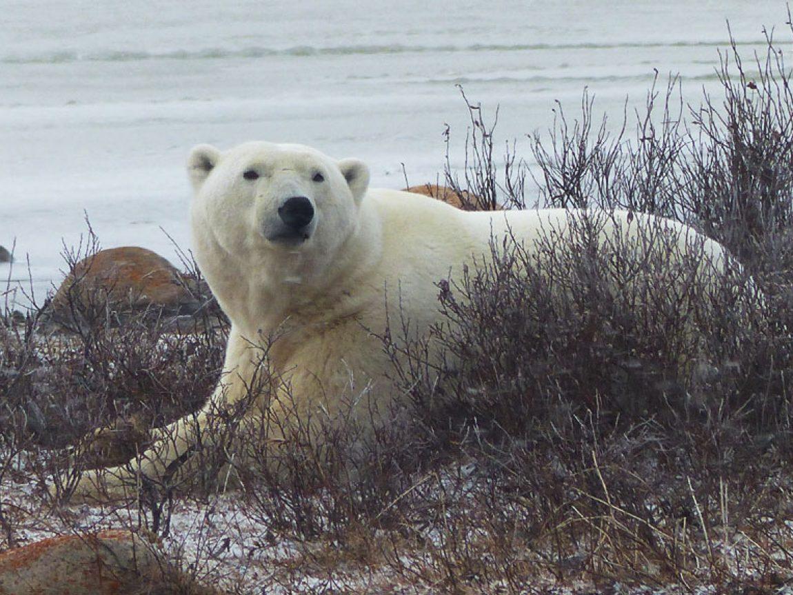 canada churchill polar bear in willows pf