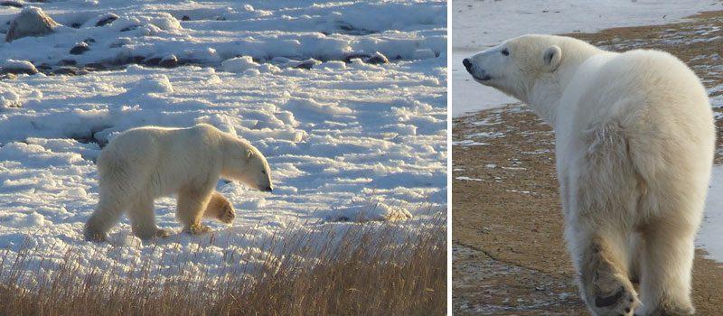 canada churchill polar bear montage pf