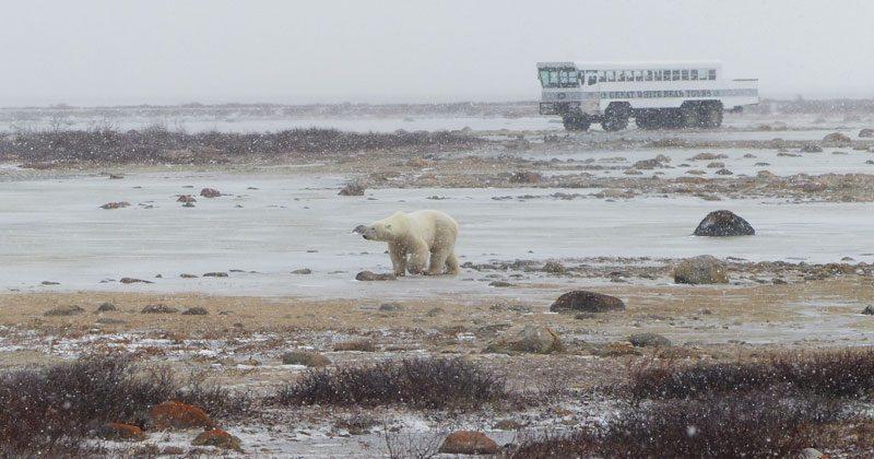 canada churchill polar bear tundra pf