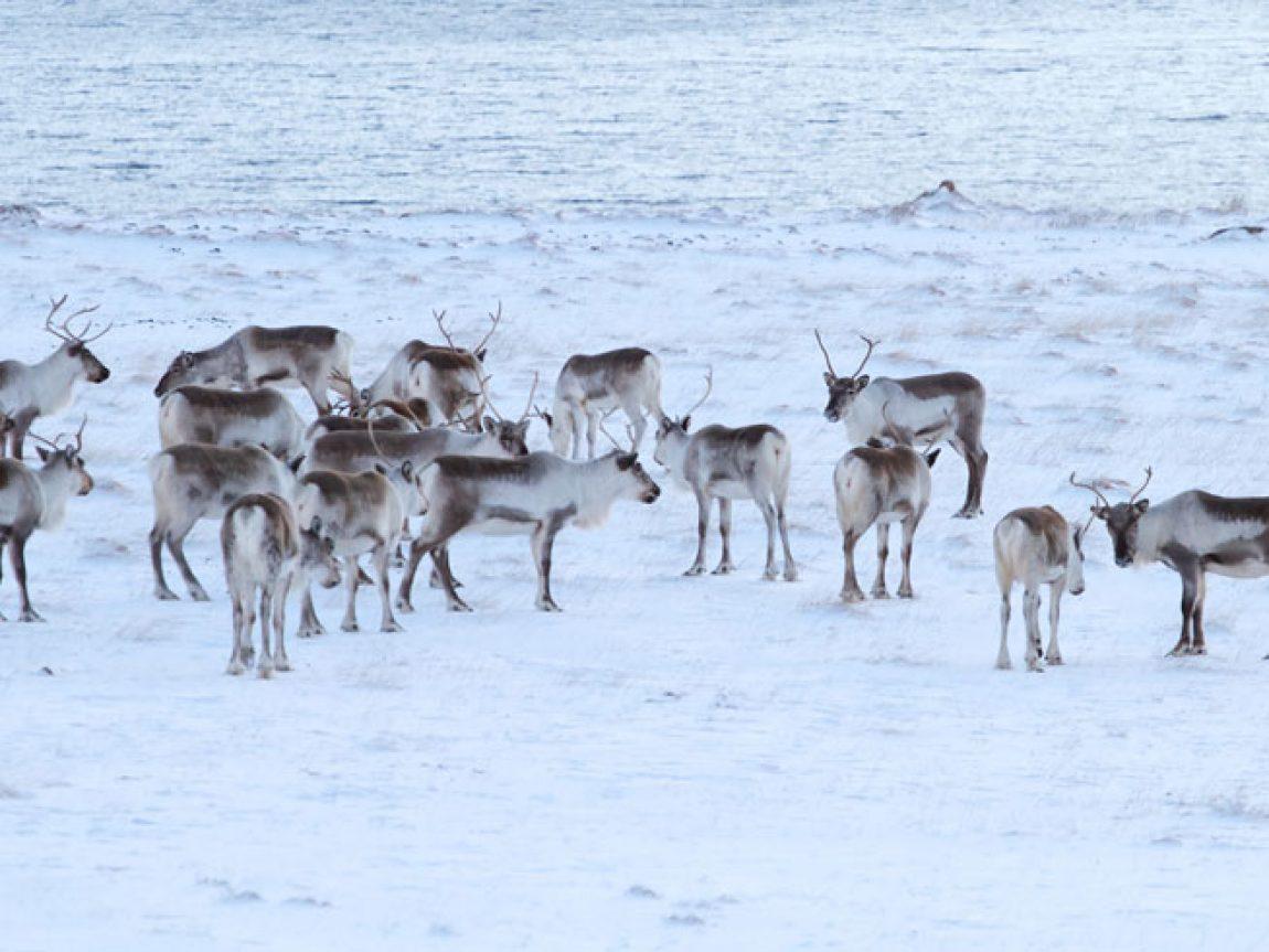 east fjords reindeer safari winter