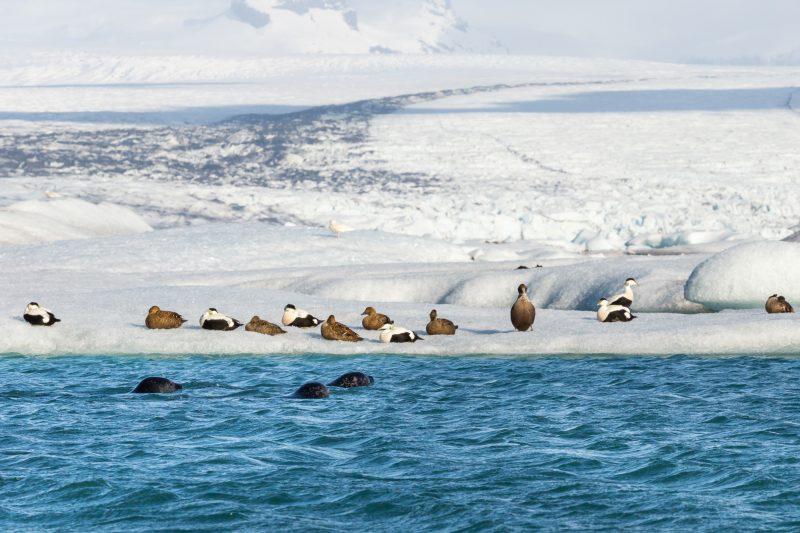 iceland south east eider ducks and seals at jokulsarlon istk