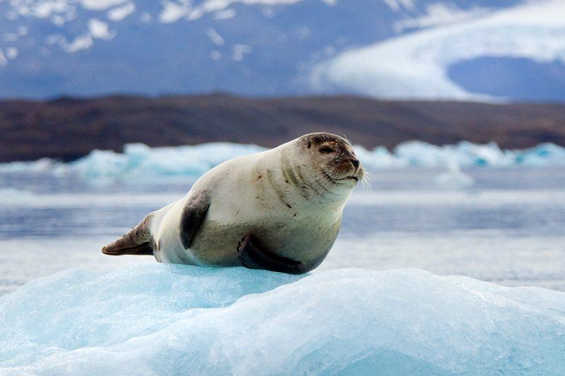 iceland south east jokulsarlon lone seal istk