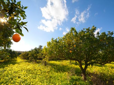 italy citrus grove sicily istk