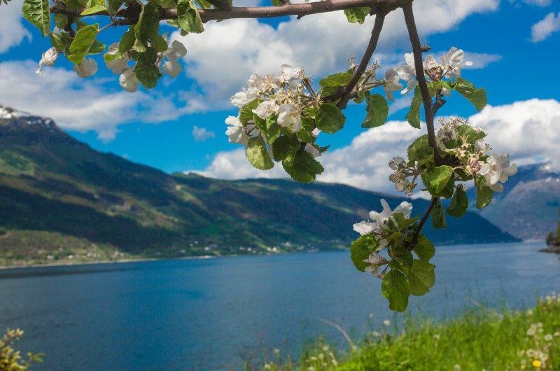 norway fjords hardangerfjord apple blossom istk
