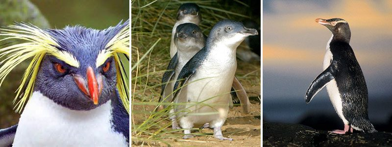 penguins australasia montage