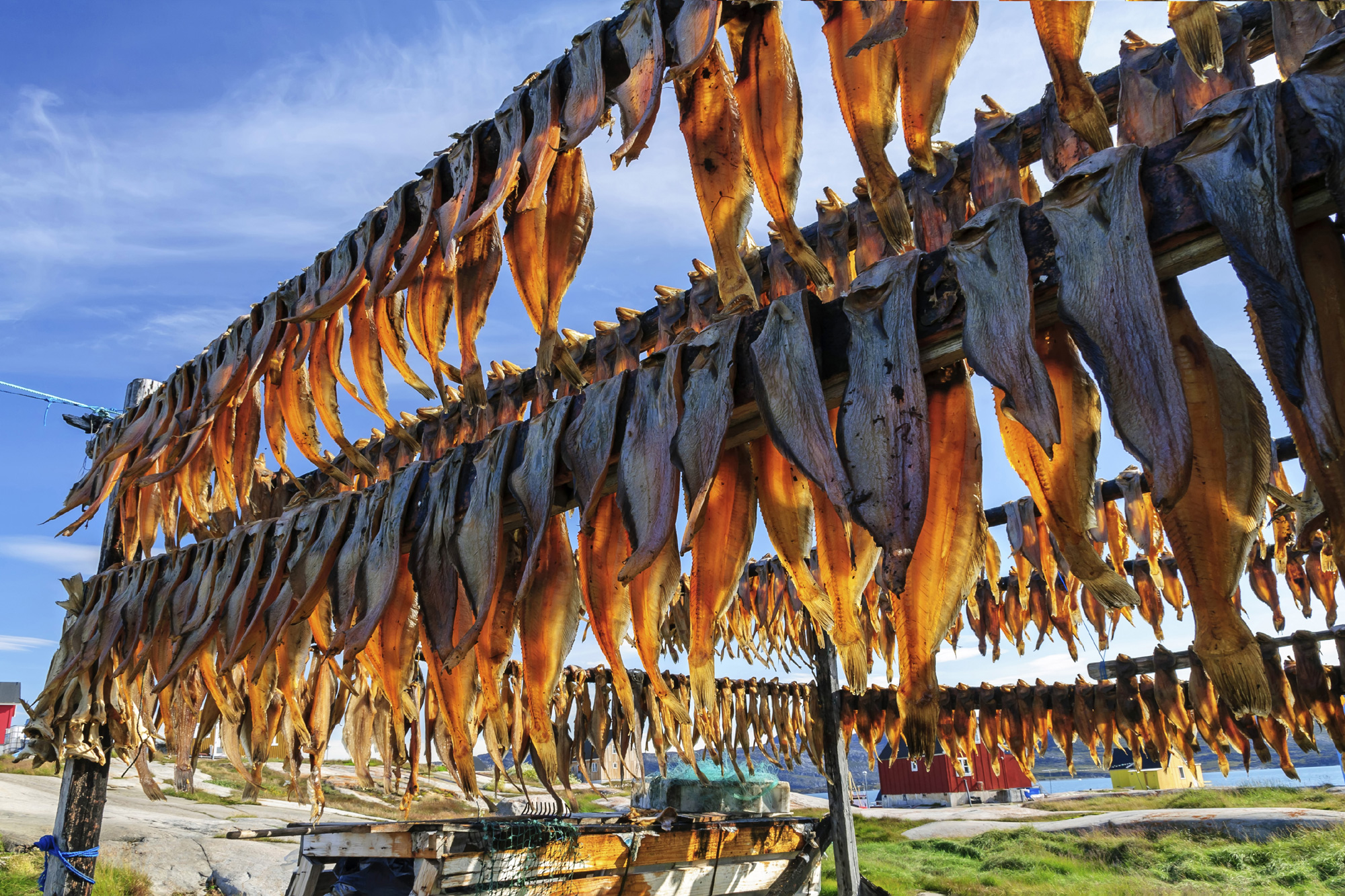 west greenland dried fish in rodebay settlement istk