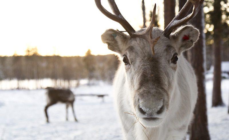 finnish lapland reindeer lake inari