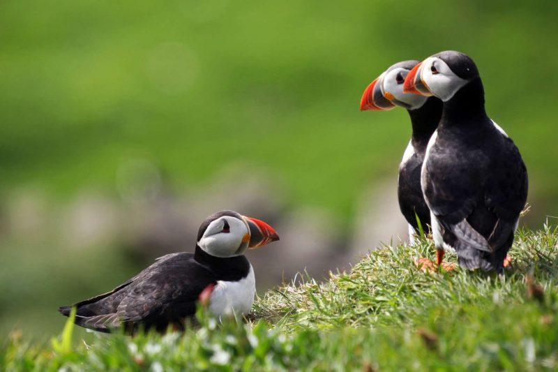 faroe islands birdlife puffins vf