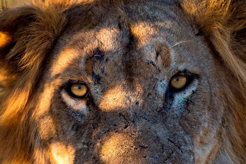 ruckomechi camp lion close up