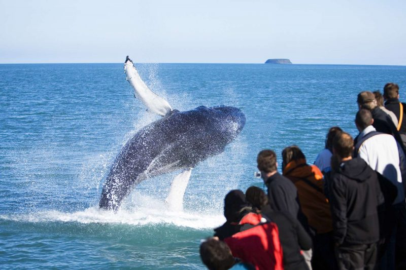 north iceland husavik humpback whale breaching ns
