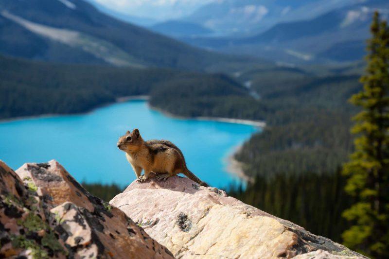 Chipmunk at Peyto Lake