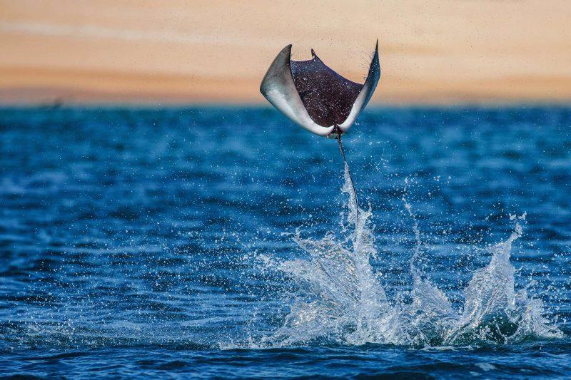baja california mobula ray jumping istk