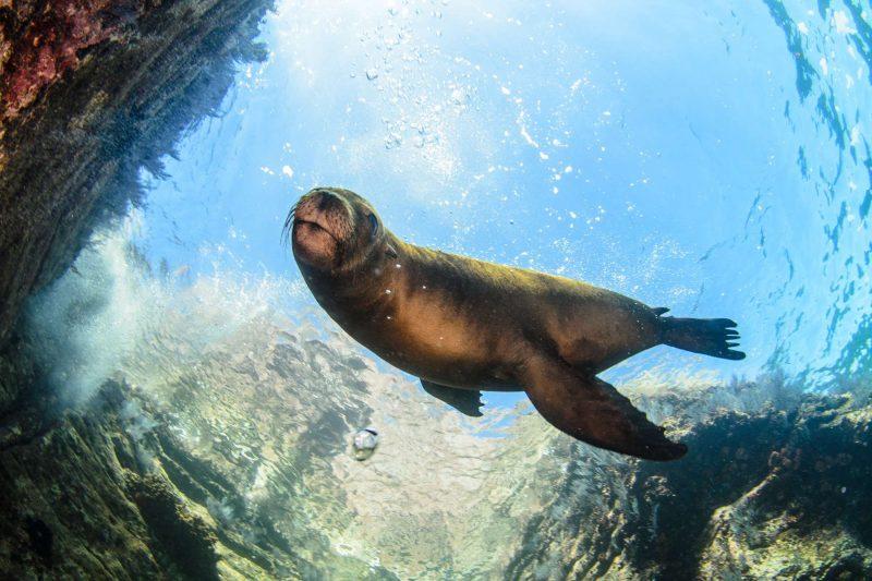 baja california sea lion underwater istk