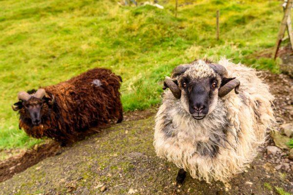 faroe islands sheep eyes istk