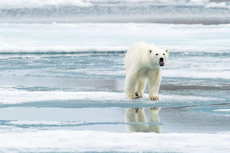 svalbard polar bear tongue out boat safari basecamp ki