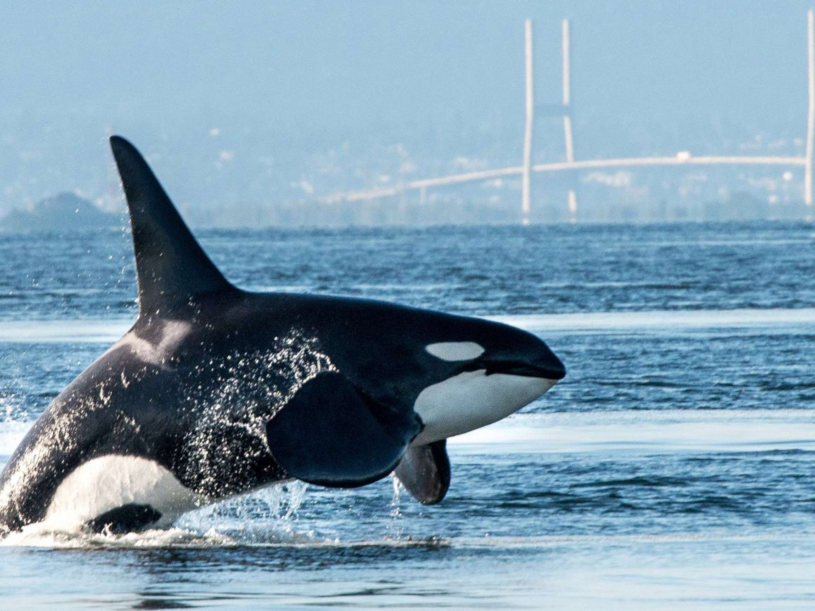 canada british columbia orca breaching near vancouver harbour istk