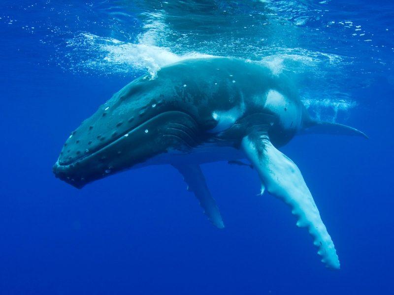 humpback whale underwater blog