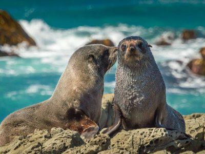 new zealand kaikoura fur seals istk