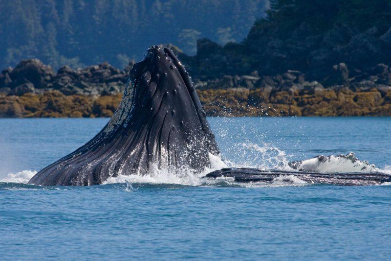 Humpback whale bubble feeding