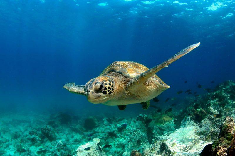 galapagos green sea turtle istk
