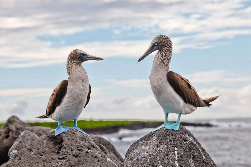 galapagos isla lobos blue footed boobies on rock istk
