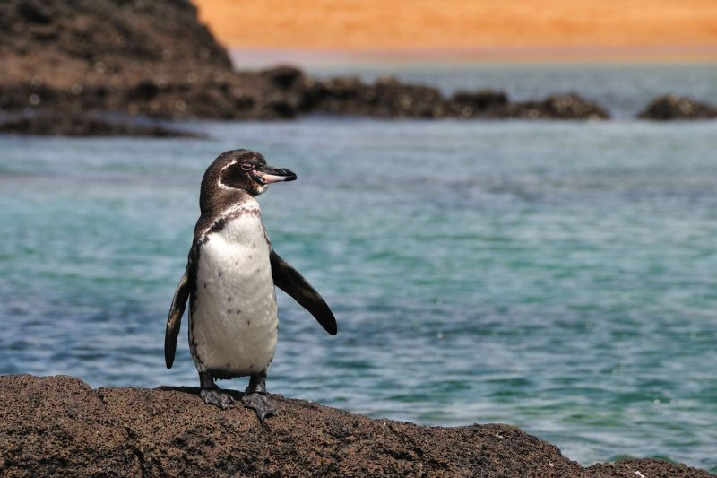 galapagos penguin at sunset istk