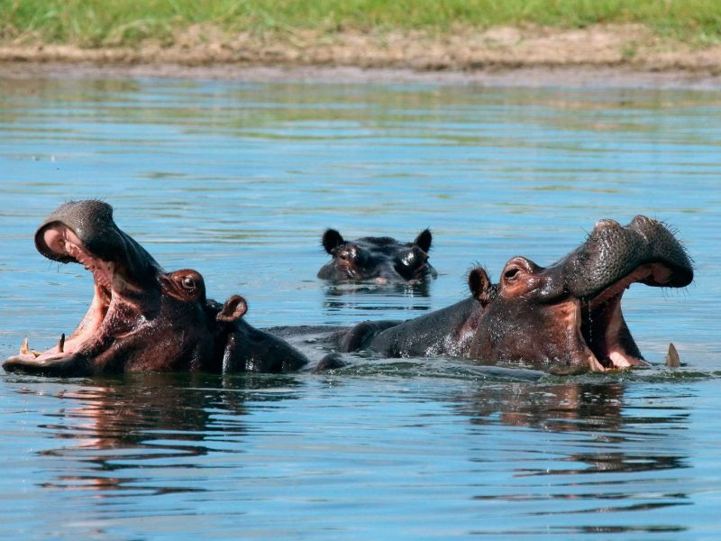 zambia three hippos in river istk