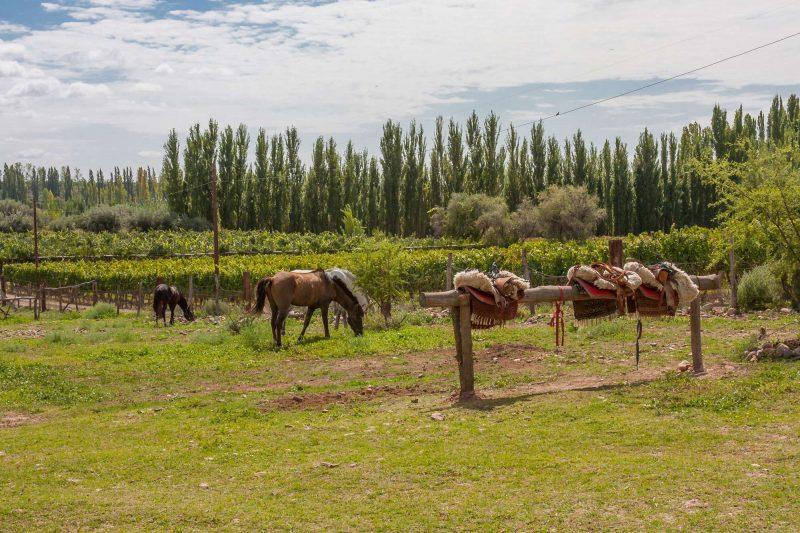 argentina mendoza horses grazing by vineyard istk