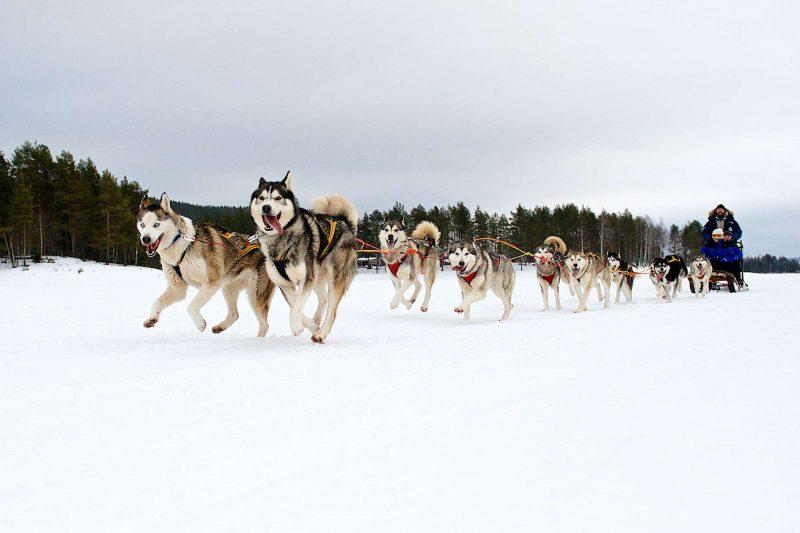 swedish lapland arctic retreat husky sledding on trail