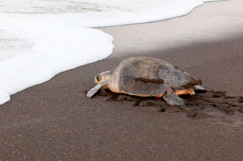 edu responsible travel turtle olive ridley