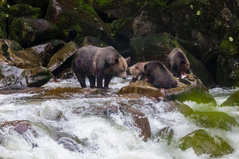 british columbia great bear rainforest grizzlies salmon fishing crs