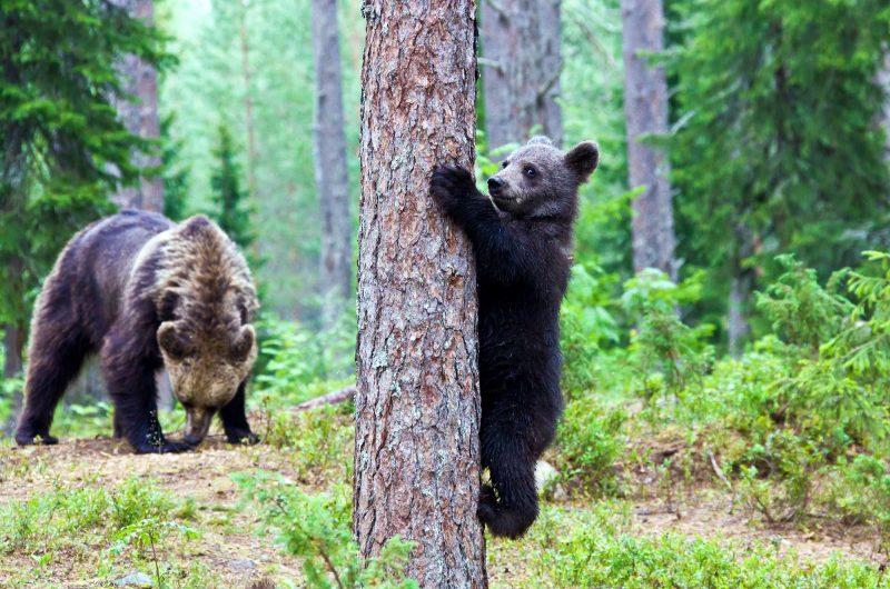 eastern finland brown bear and cub istk