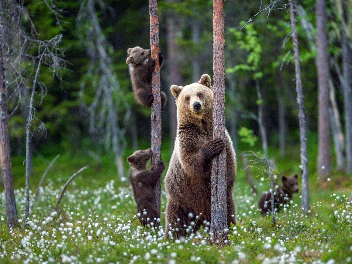 eastern finland brown bear family istk