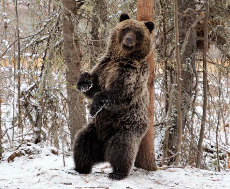 Bear scratching back