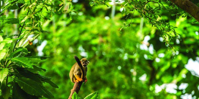 edu costa rica squirrel monkey in rainforest
