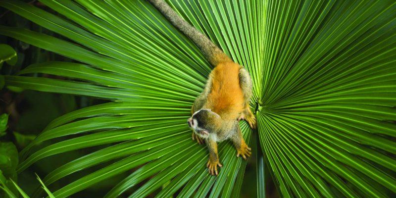 edu costa rica squirrel monkey on leaf