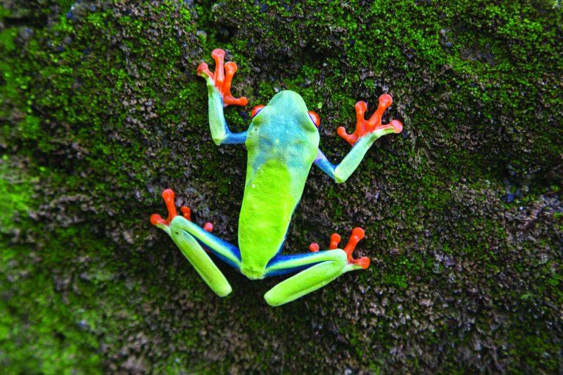 edu costa rica tree frog blue green orange